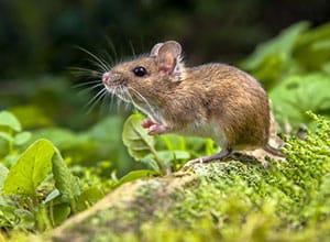rat-exterminator