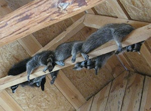 remove-raccoons-from-attic