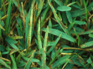 Lawn Treatment for Grey Leaf Spot Fungus