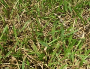 Grey Leaf Spot in Florida Lawns