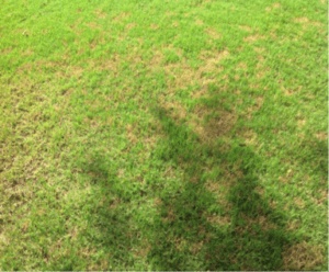 Identify Dollar Spot Fungus in your Lawn